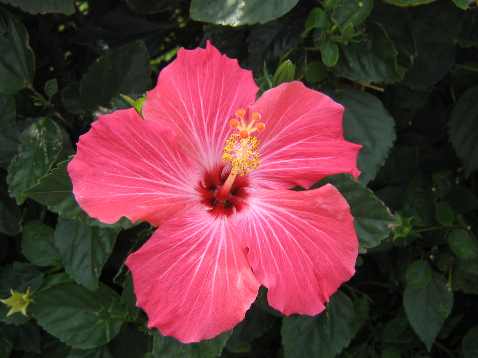 hibiscus flower  desktop wallpapers, Natural flower