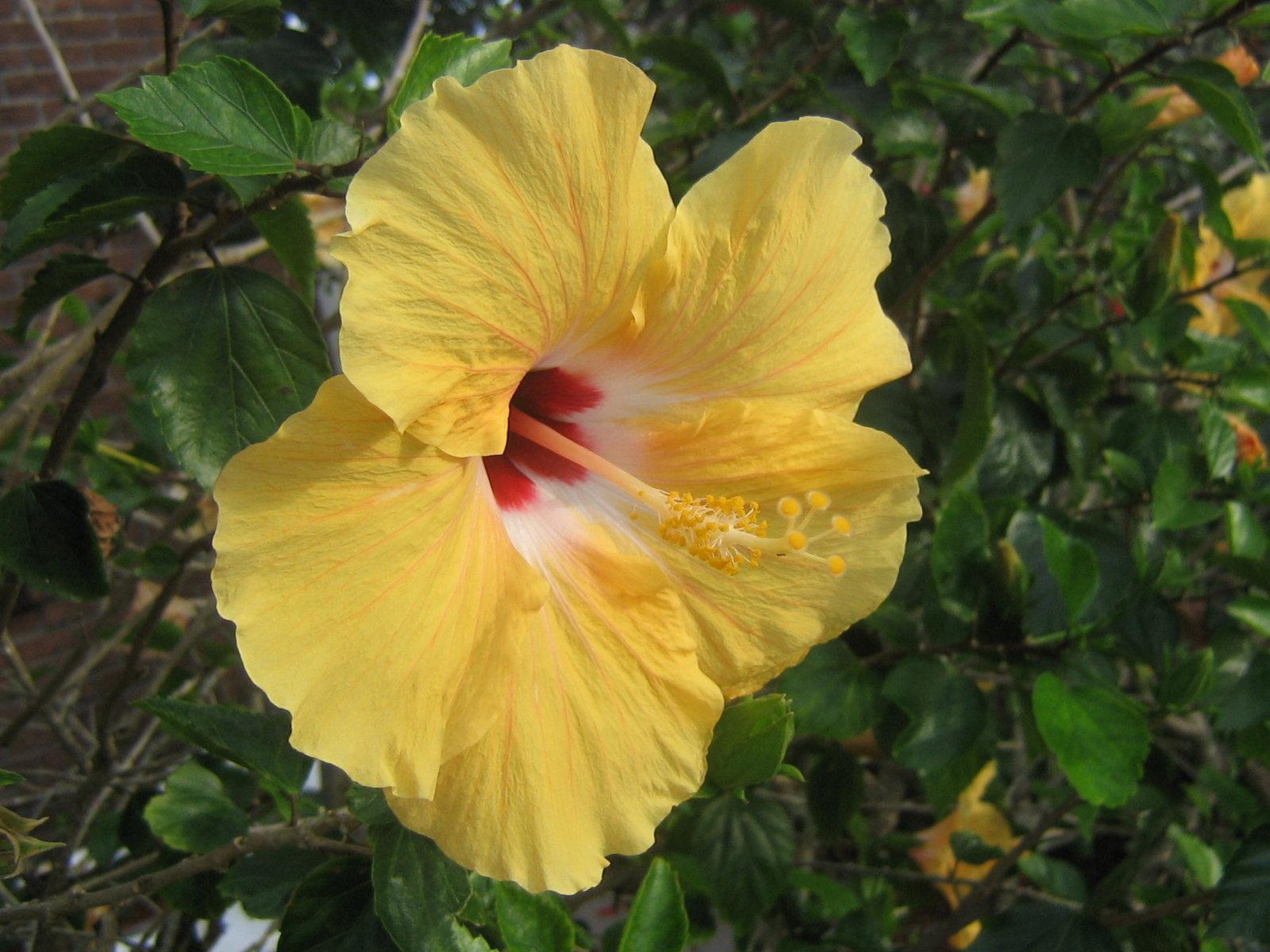 yellow hibiscus plant - photo #43