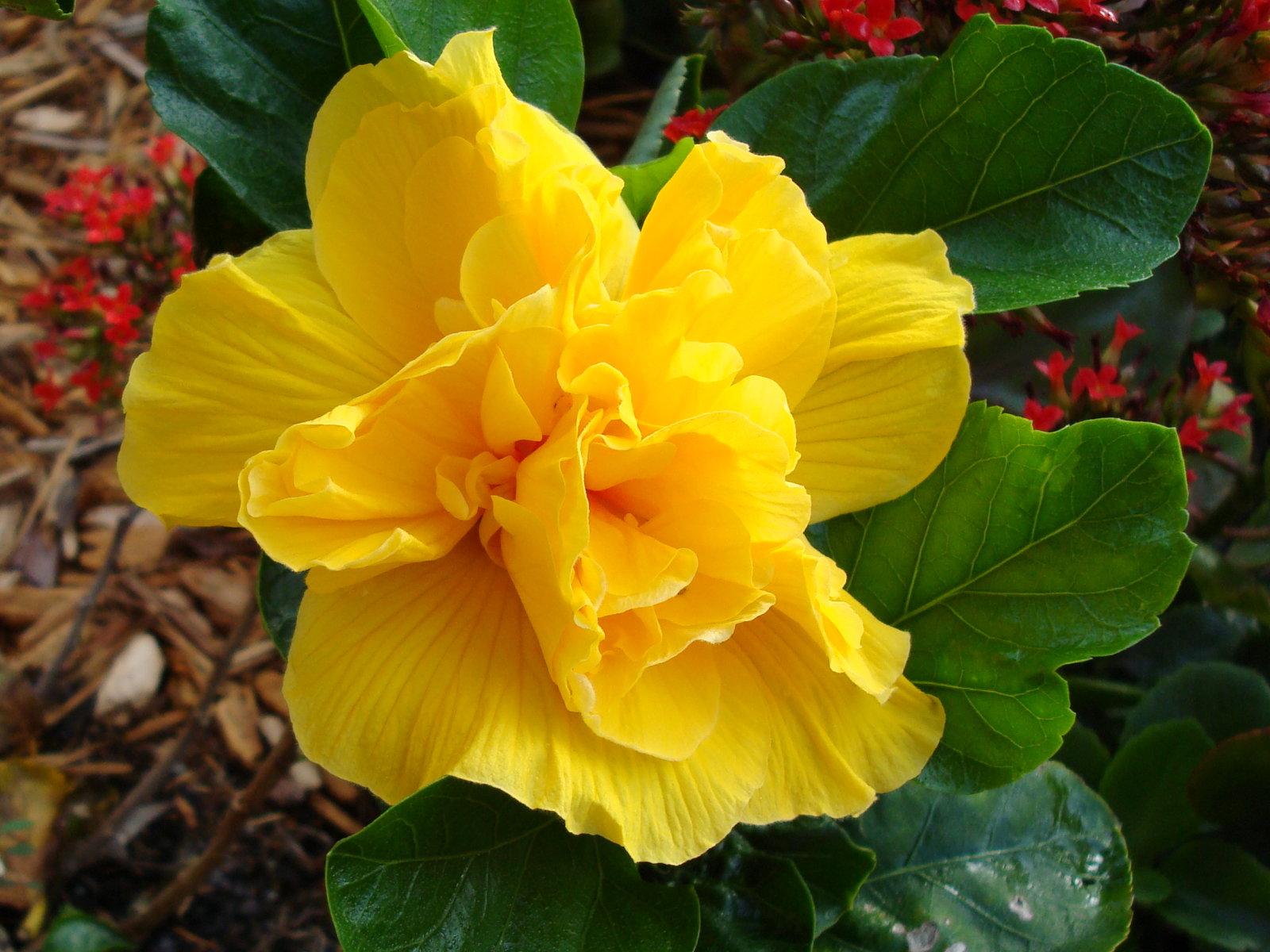 махровый желтый гибискус фото