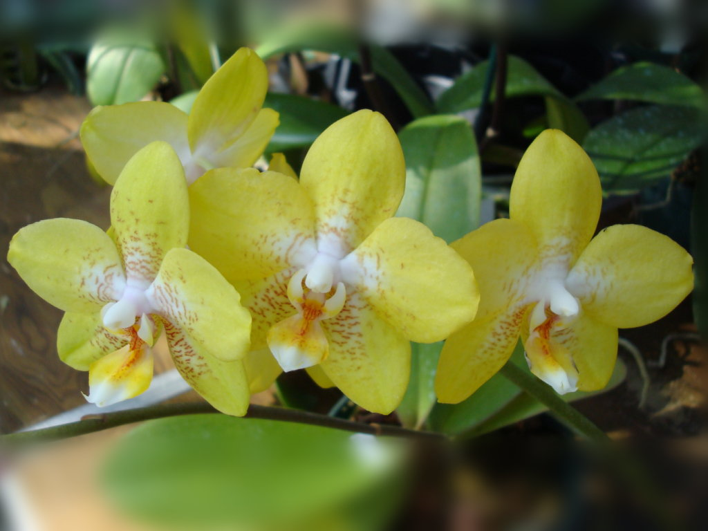 Orchid Flowers Wallpapers