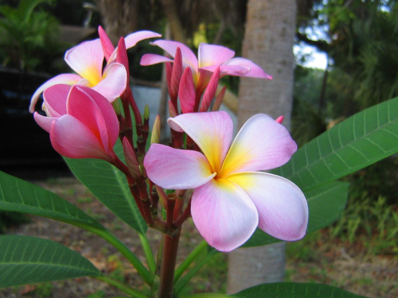 Flores De Plumeria Fondo De Pantalla