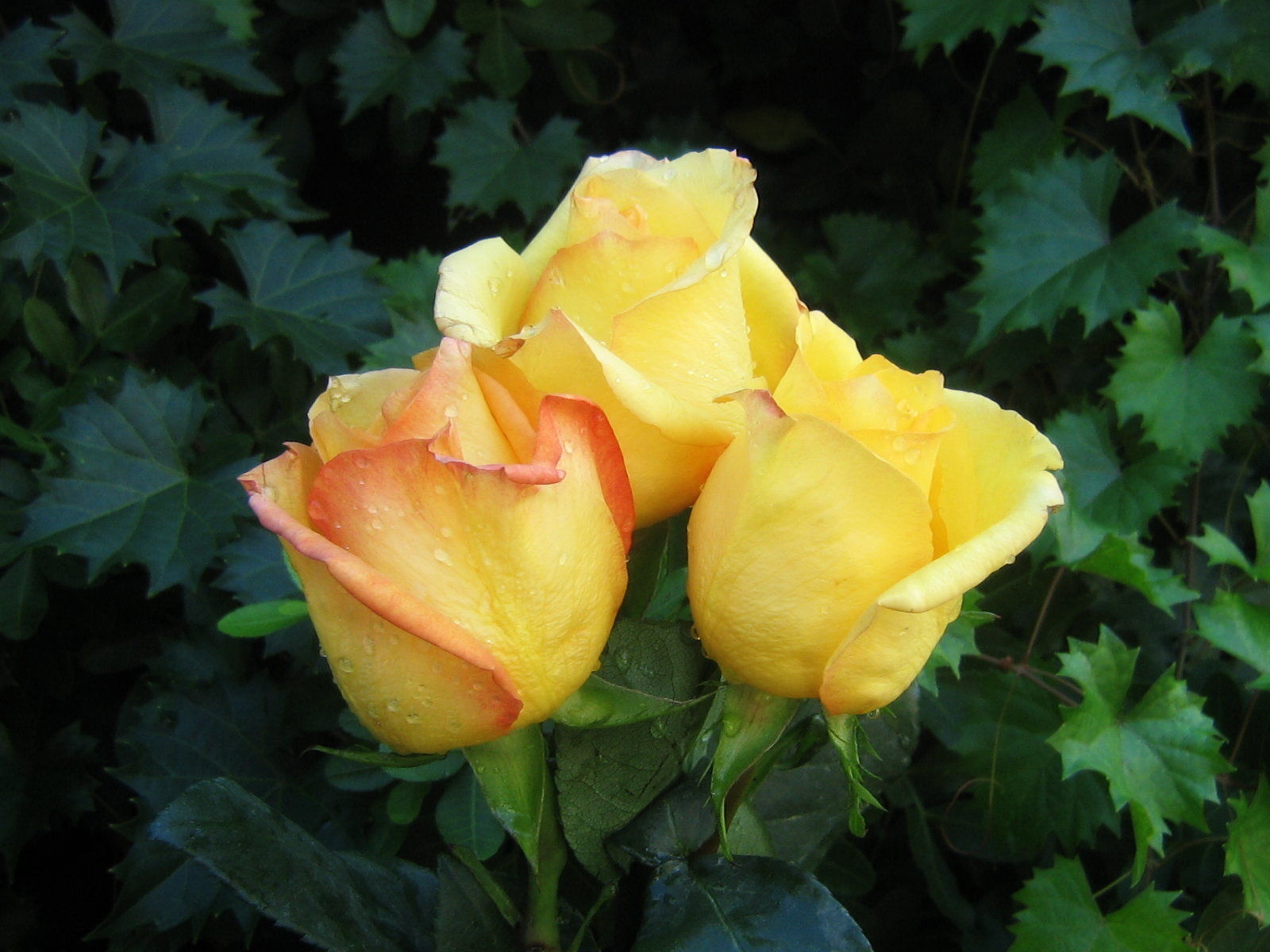 wallpaper of yellow roses - photo #40
