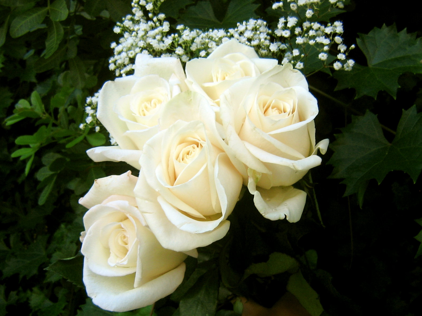 Flowers White Roses Pictures