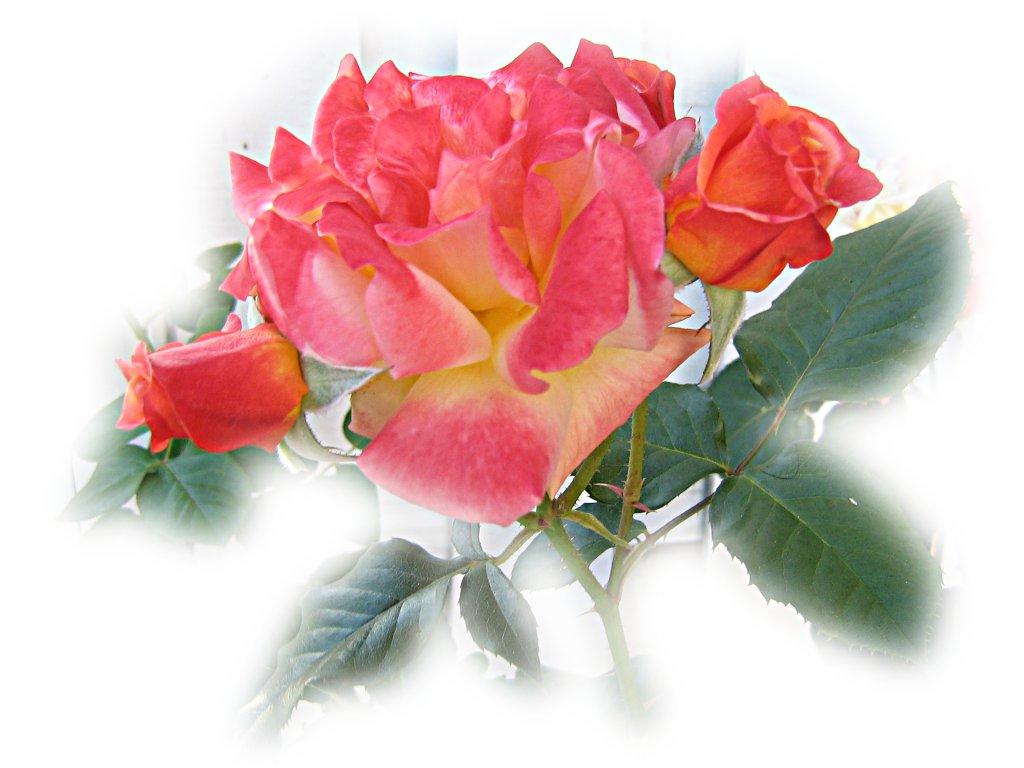 Красивая роза oбои для рабочего стола