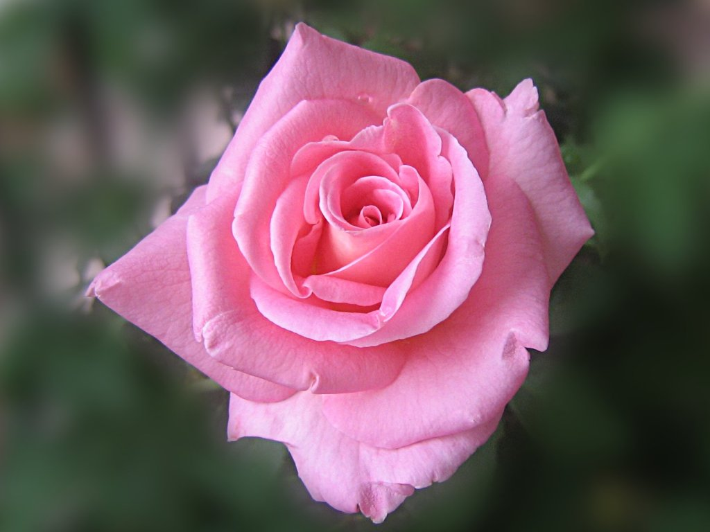 pink rose in - photo #12