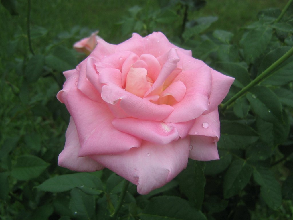 pink rose in - photo #38
