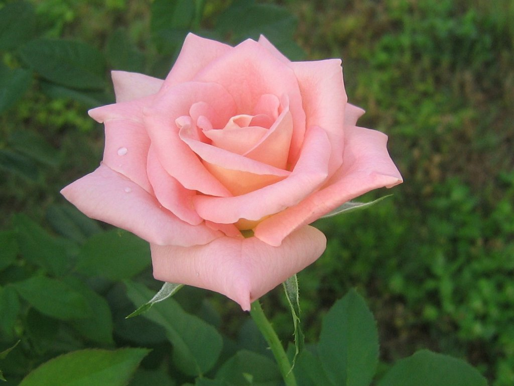 pink rose in - photo #25