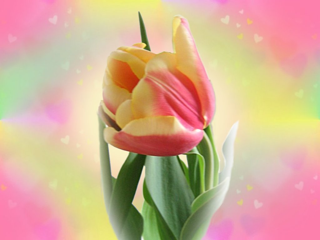 best tulips flower wallpaper