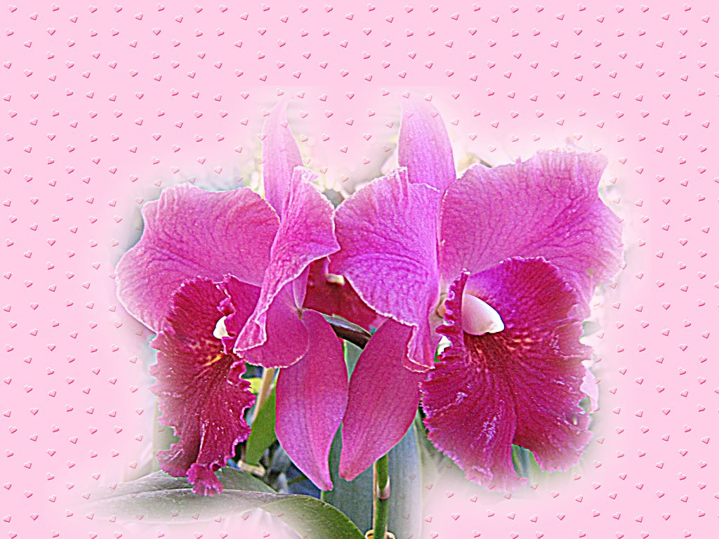 Valentines wallpaper. Orchid couple