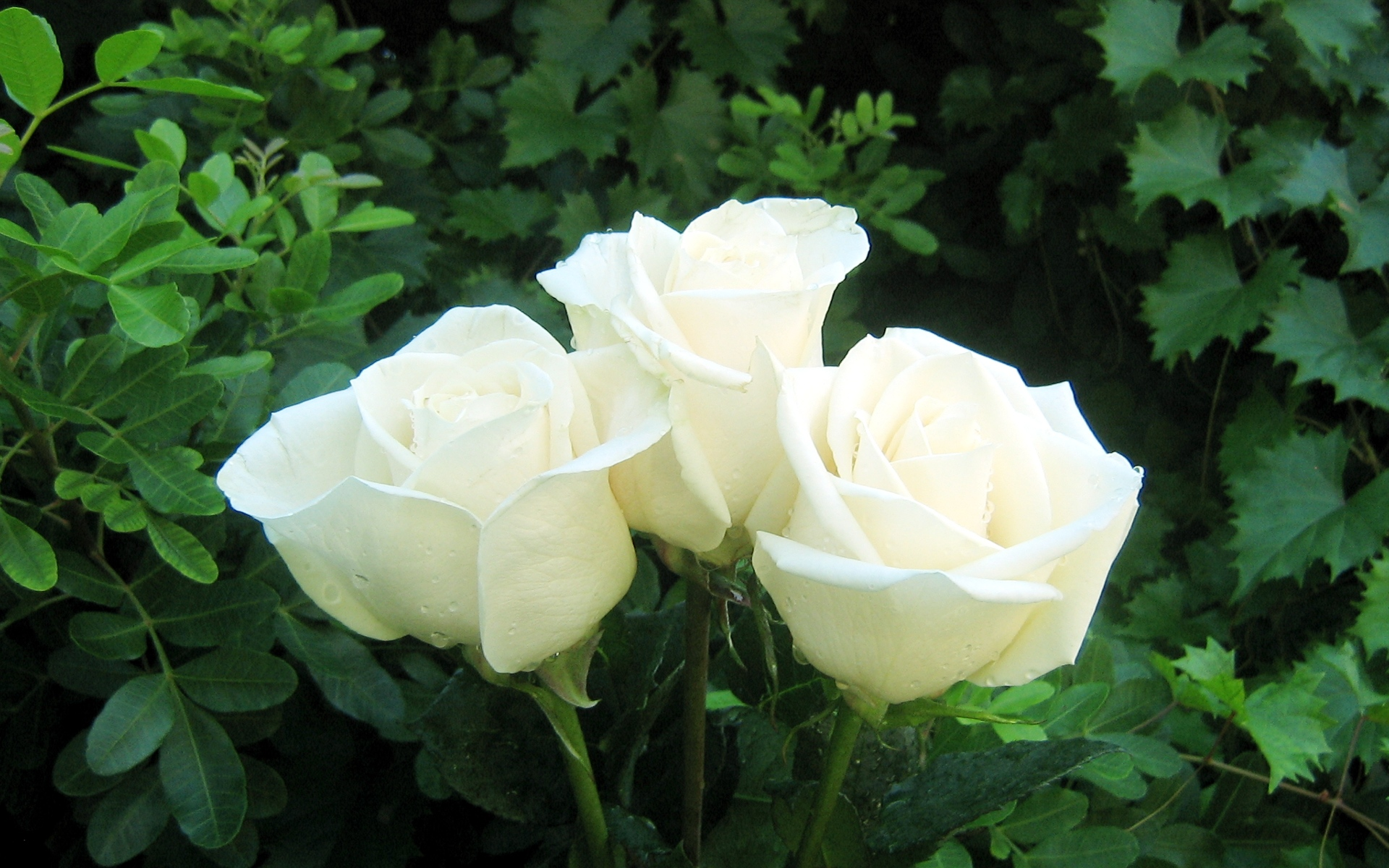 white rose wallpaper 77081