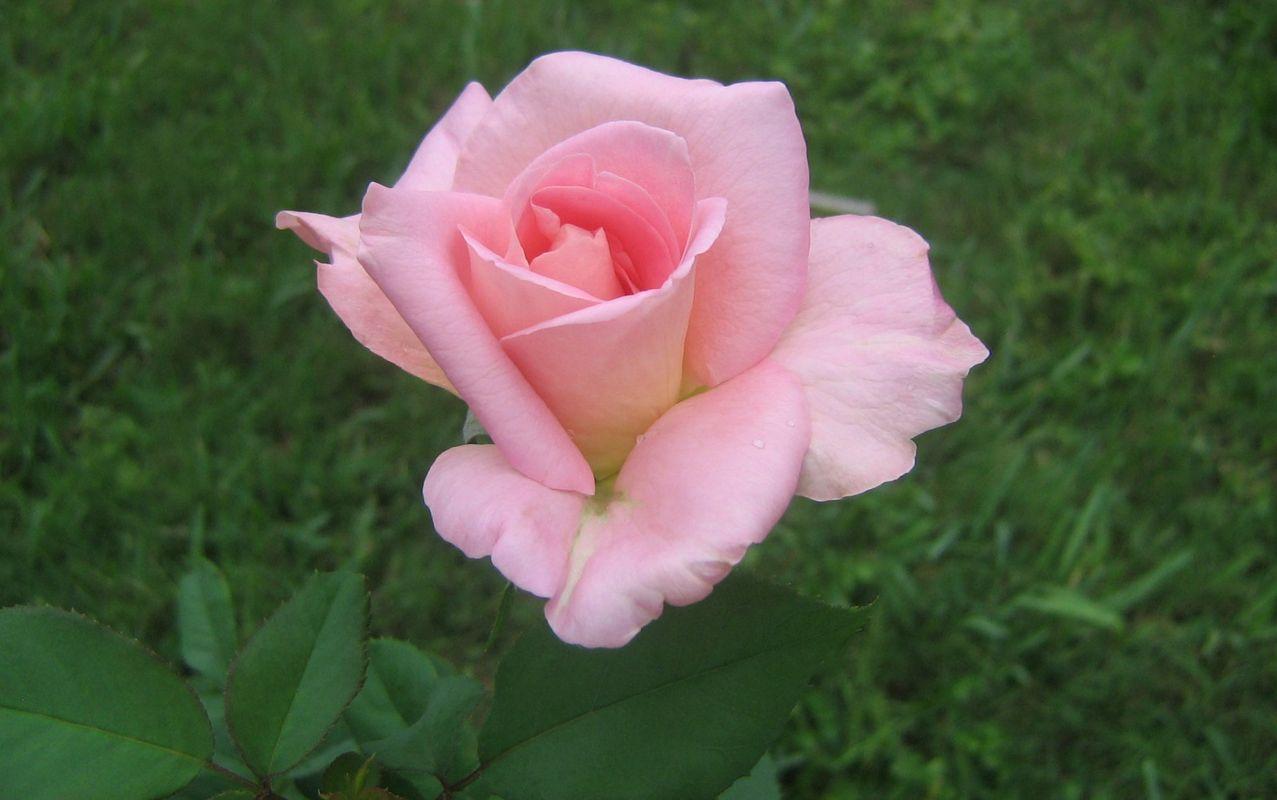 Десктоп тапети с красиви розови рози