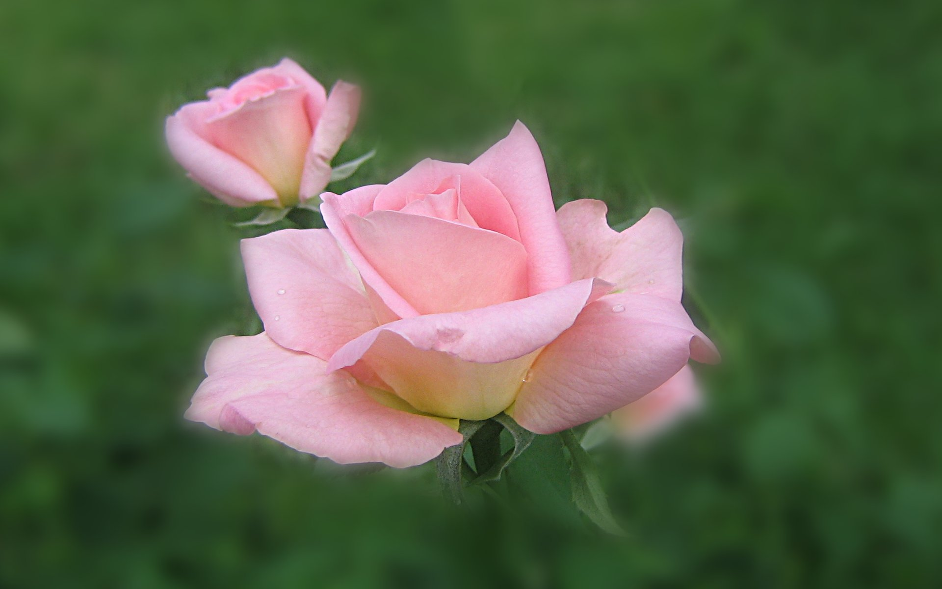 wallpapers widescreen pink roses - photo #11