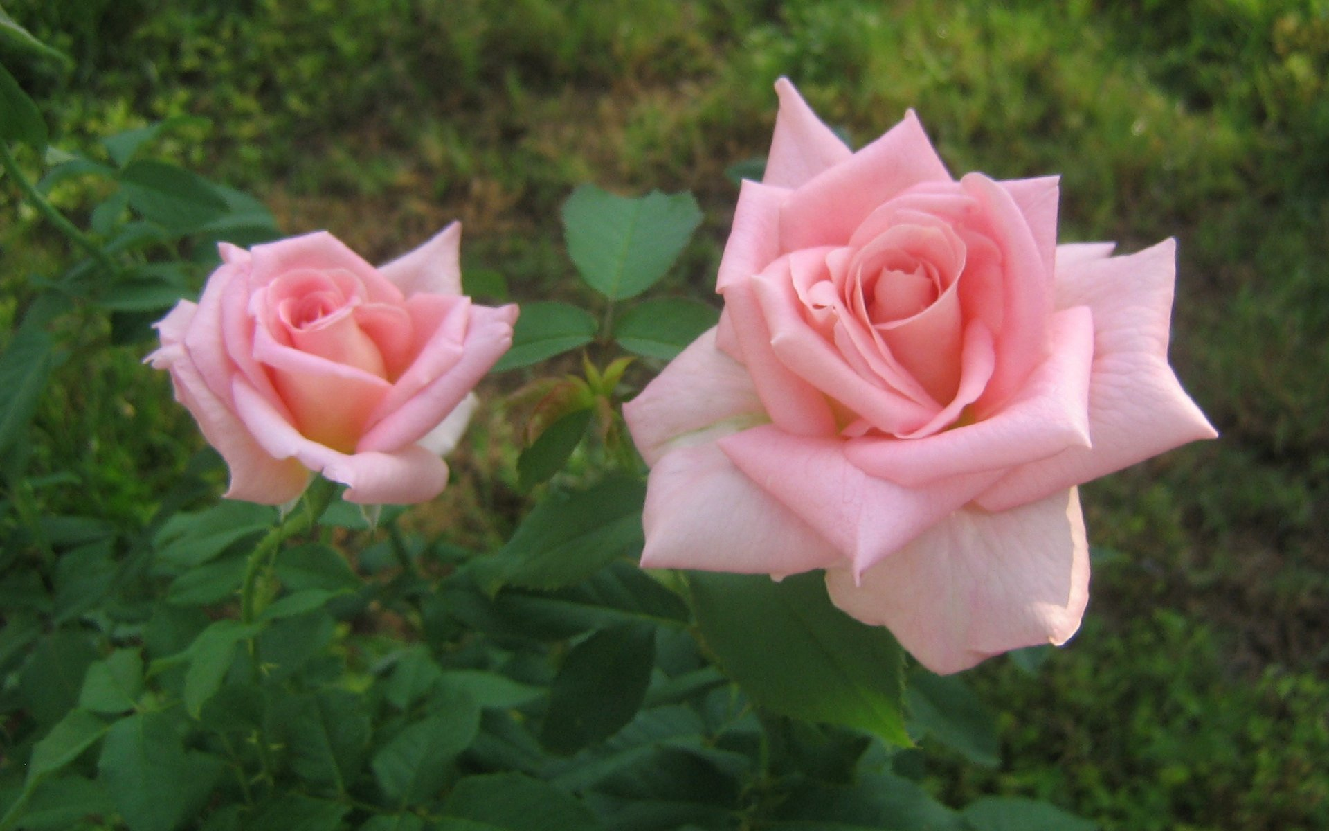 wallpapers widescreen pink roses - photo #3