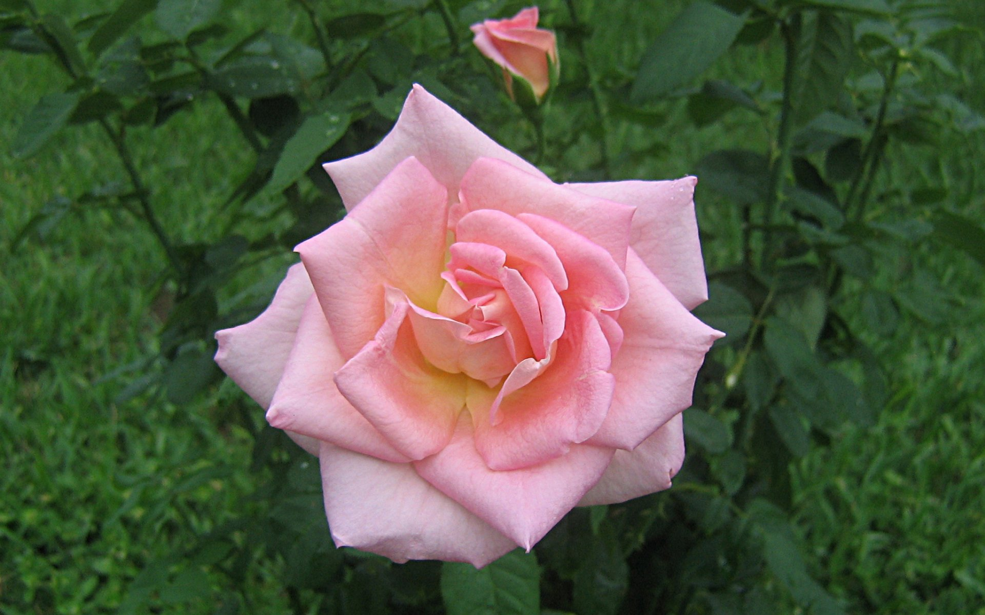wallpapers widescreen pink roses - photo #28