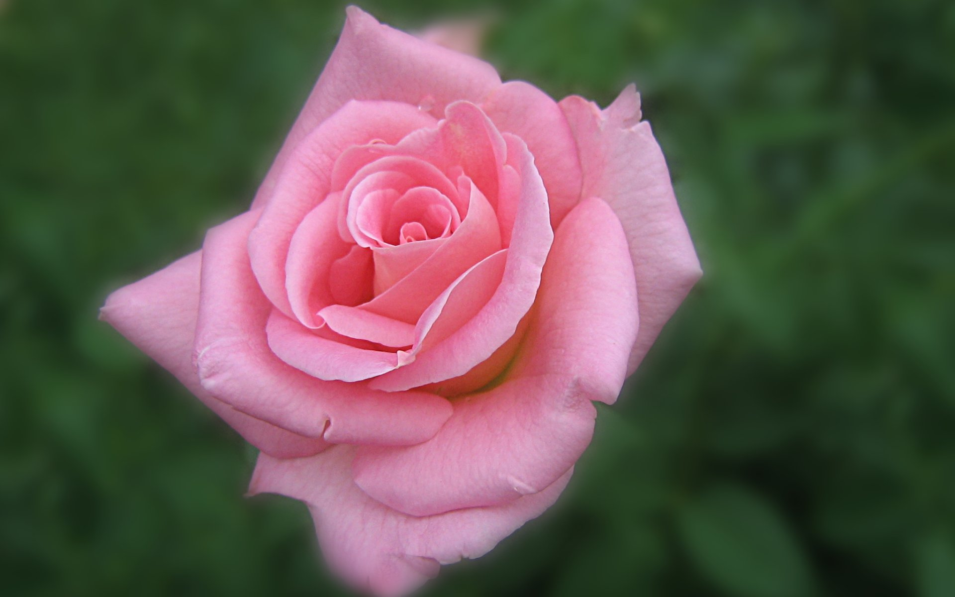 wallpapers widescreen pink roses - photo #15