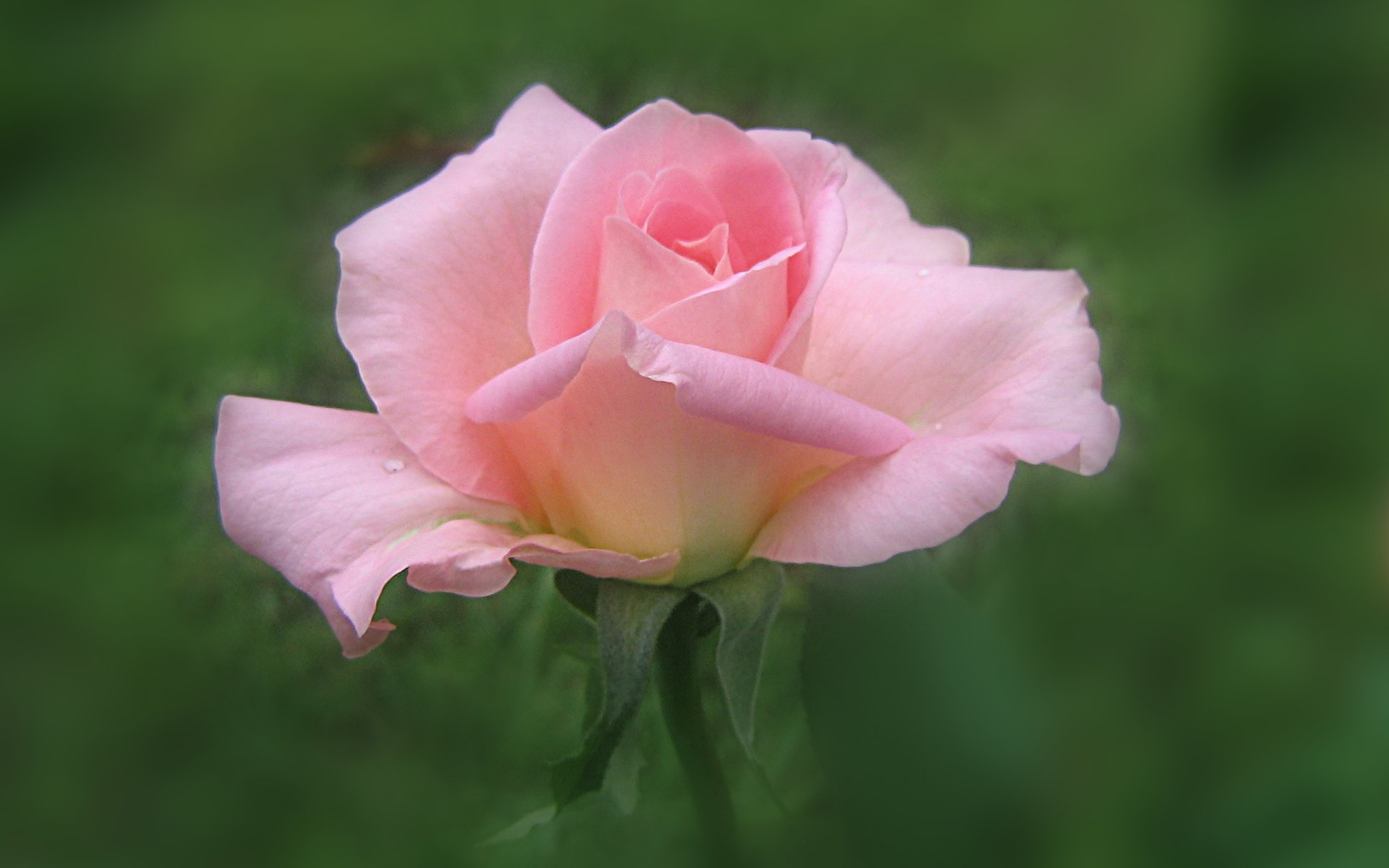wallpapers widescreen pink roses - photo #13