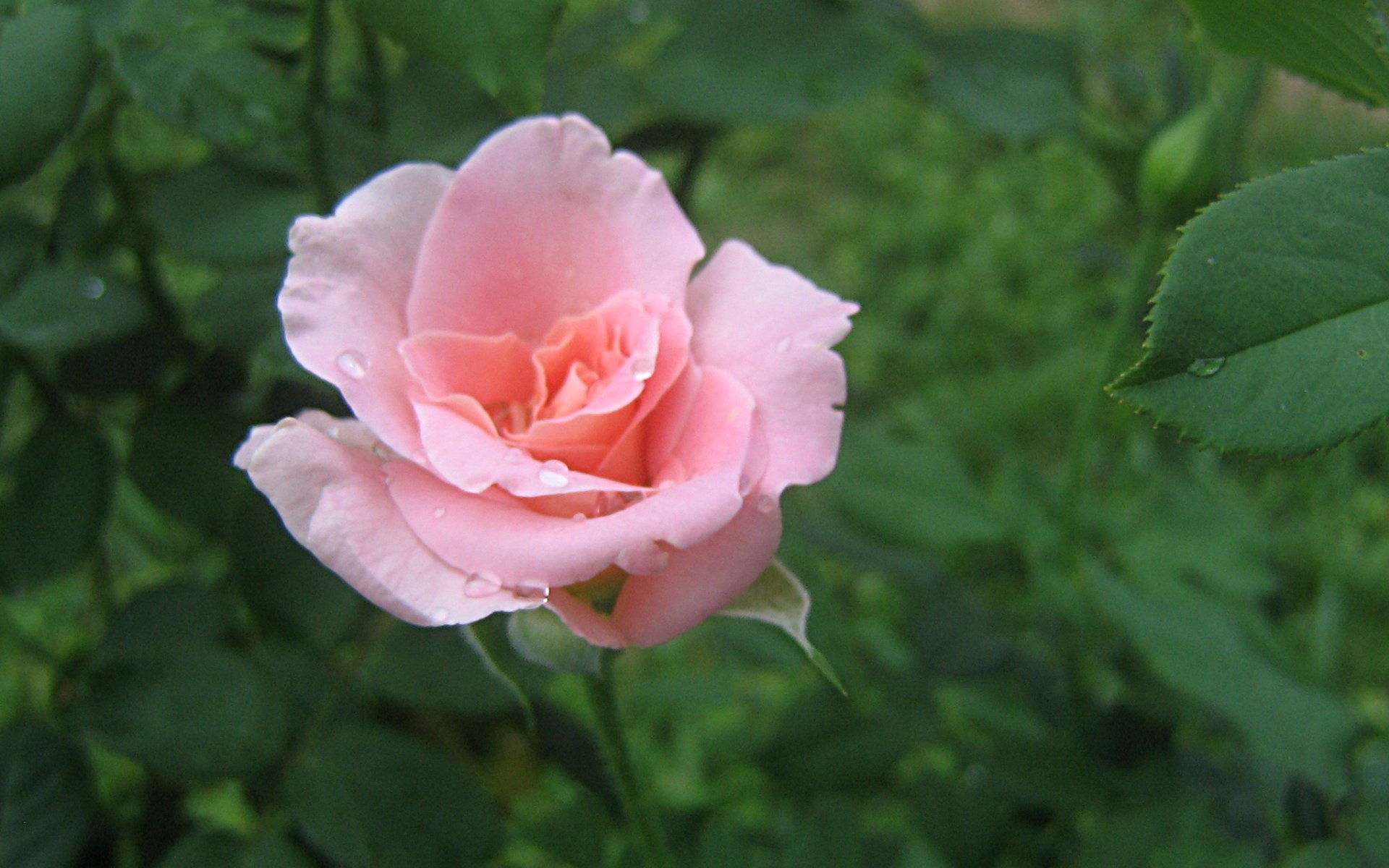wallpapers widescreen pink roses - photo #21