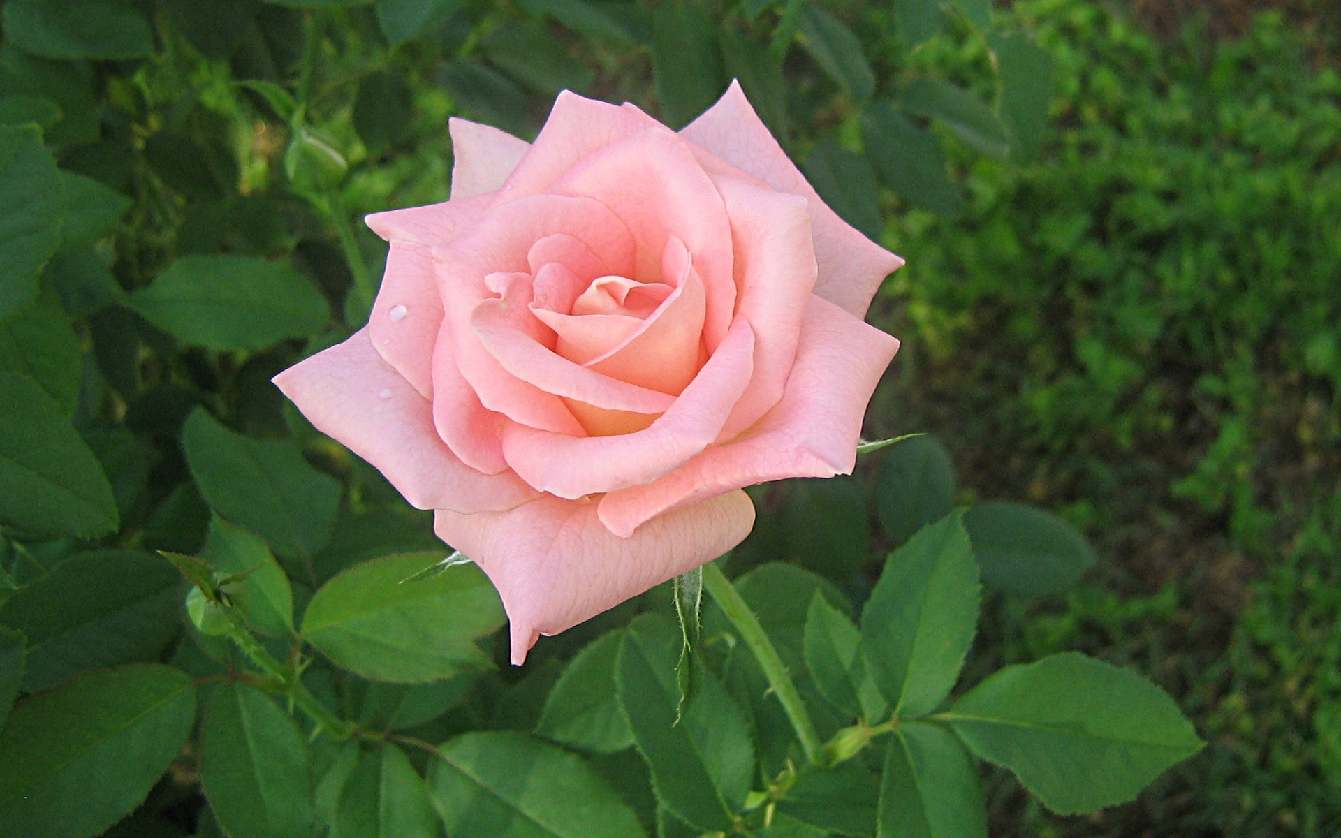 pink rose in - photo #49