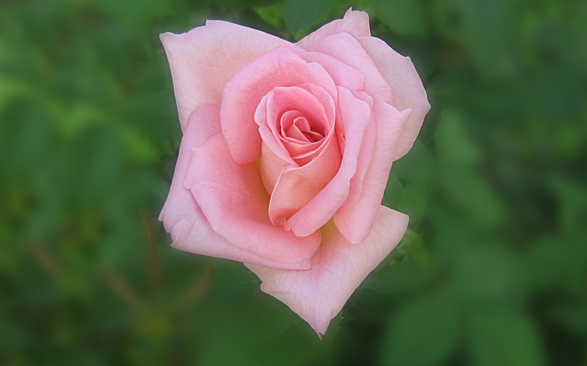 wallpapers widescreen pink roses - photo #33