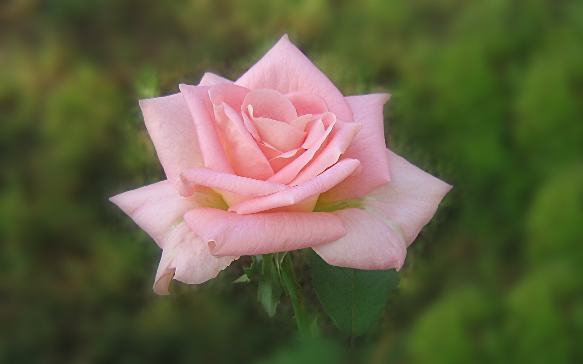 wallpapers widescreen pink roses - photo #17