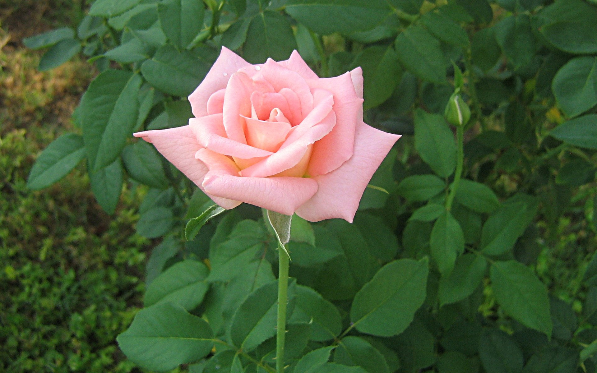 wallpapers widescreen pink roses - photo #29