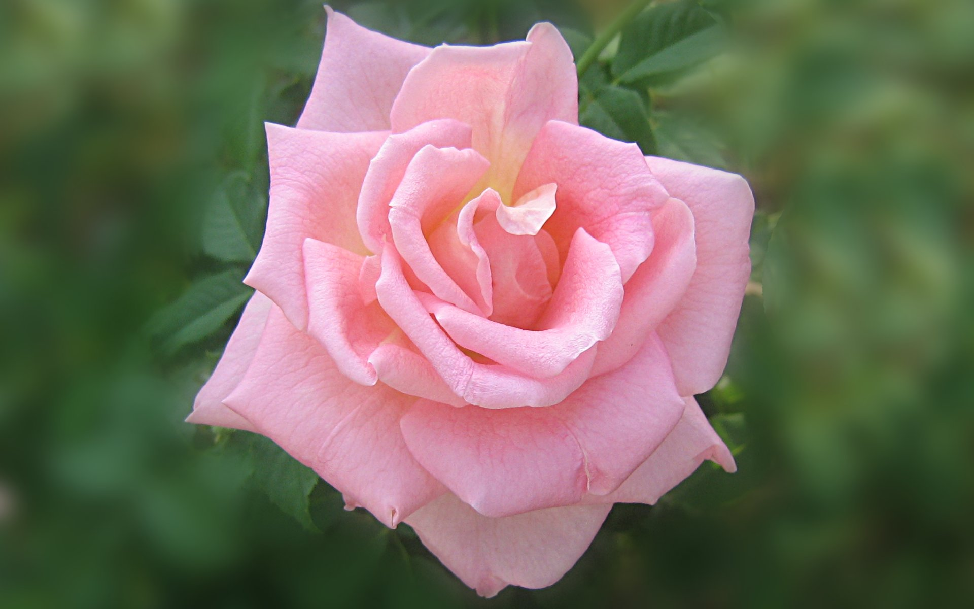 wallpapers widescreen pink roses - photo #18