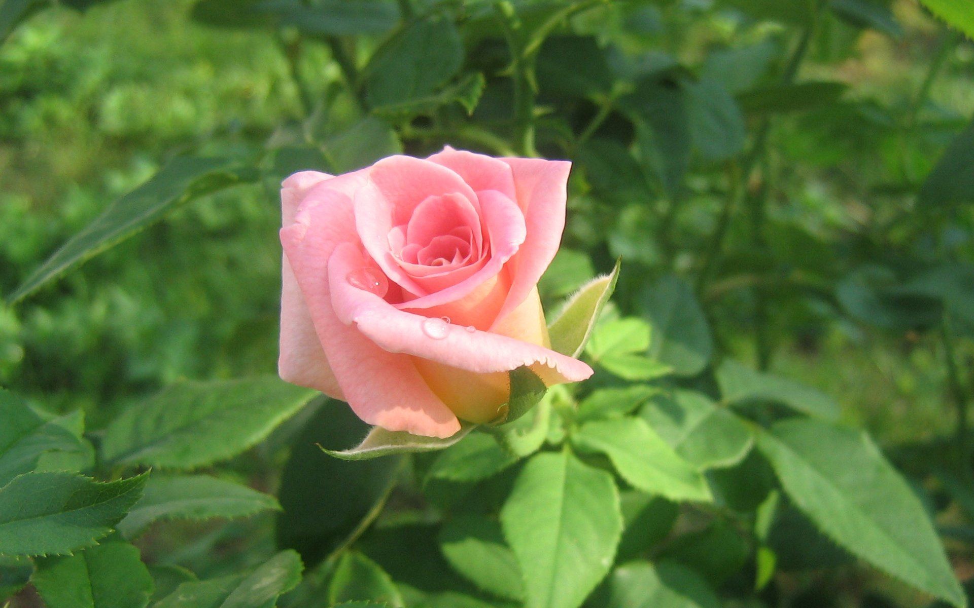 wallpapers widescreen pink roses-#32