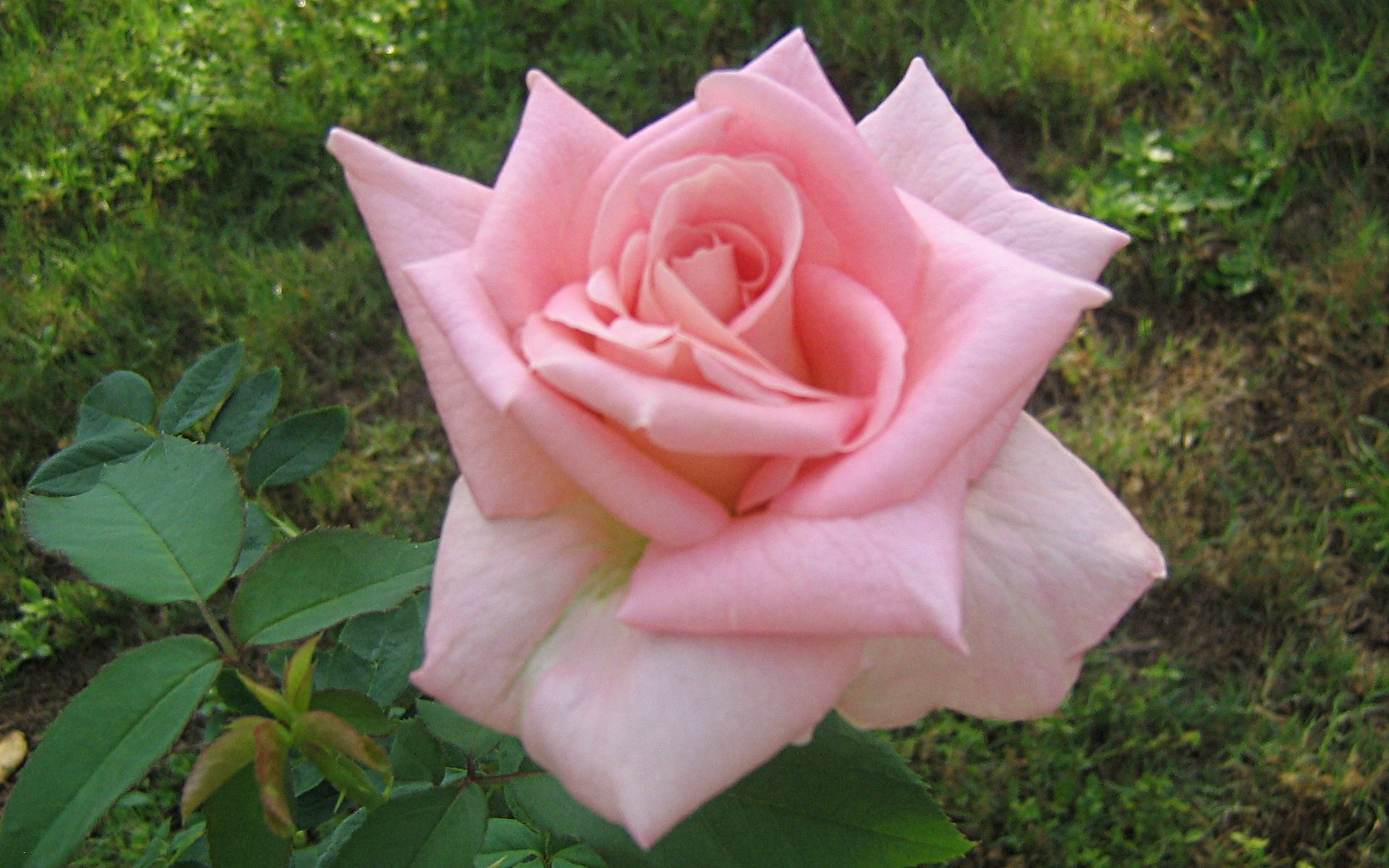 wallpapers widescreen pink roses - photo #26