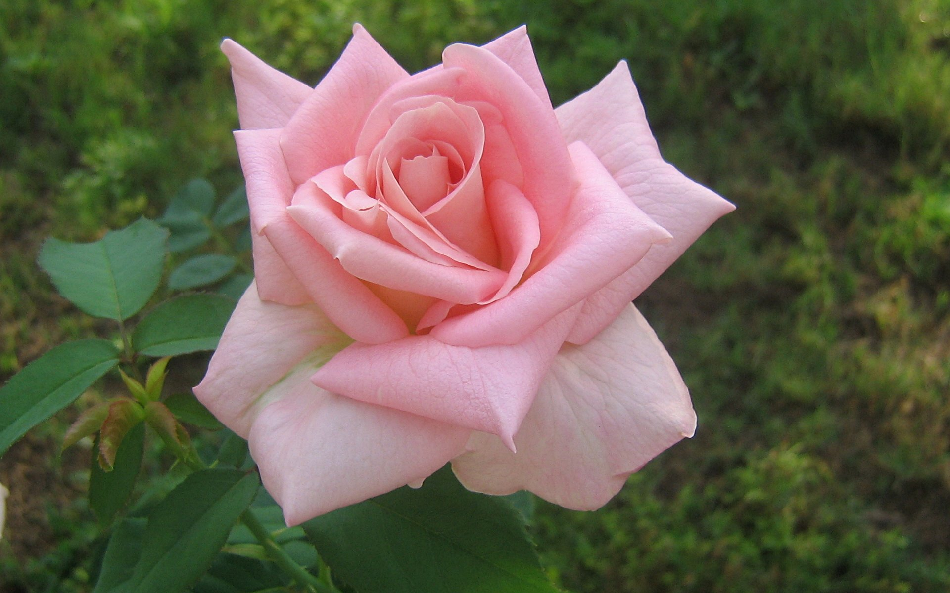 wallpapers widescreen pink roses - photo #4