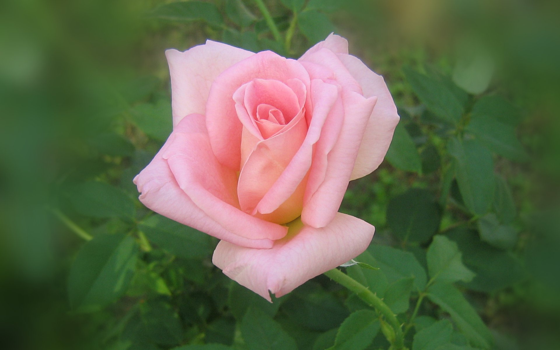 wallpapers widescreen pink roses - photo #30