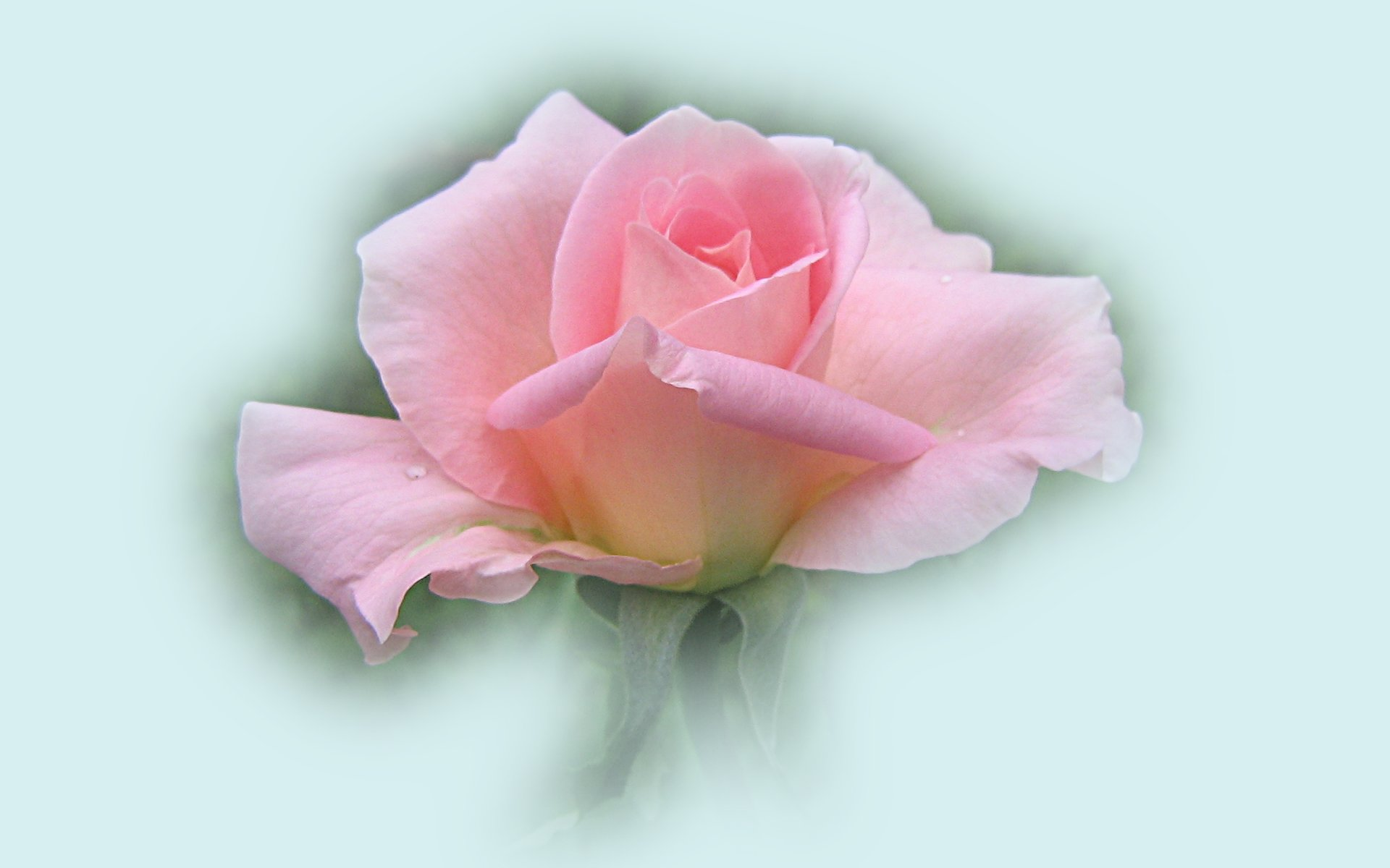 wallpapers widescreen pink roses - photo #35
