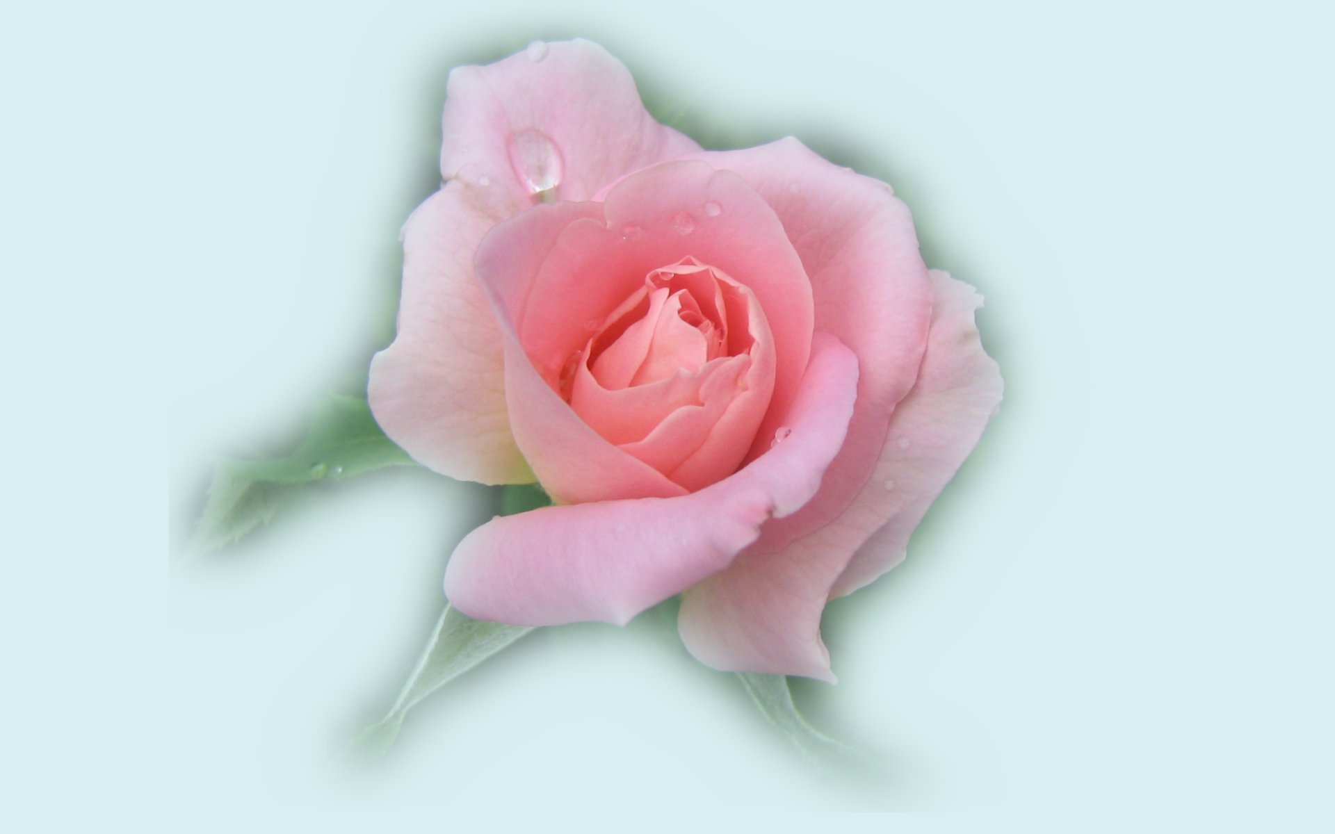 wallpapers widescreen pink roses - photo #25