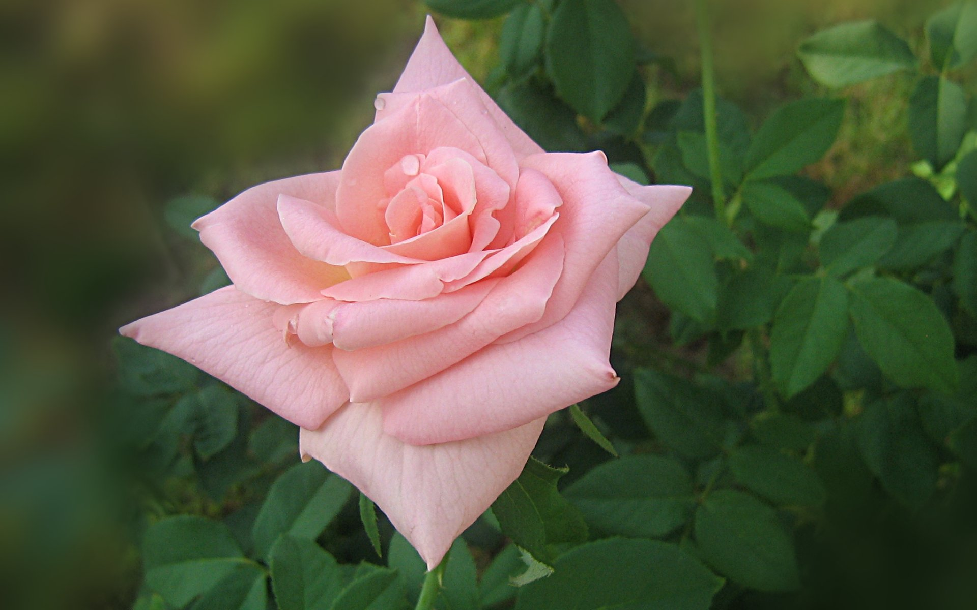 wallpapers widescreen pink roses - photo #27