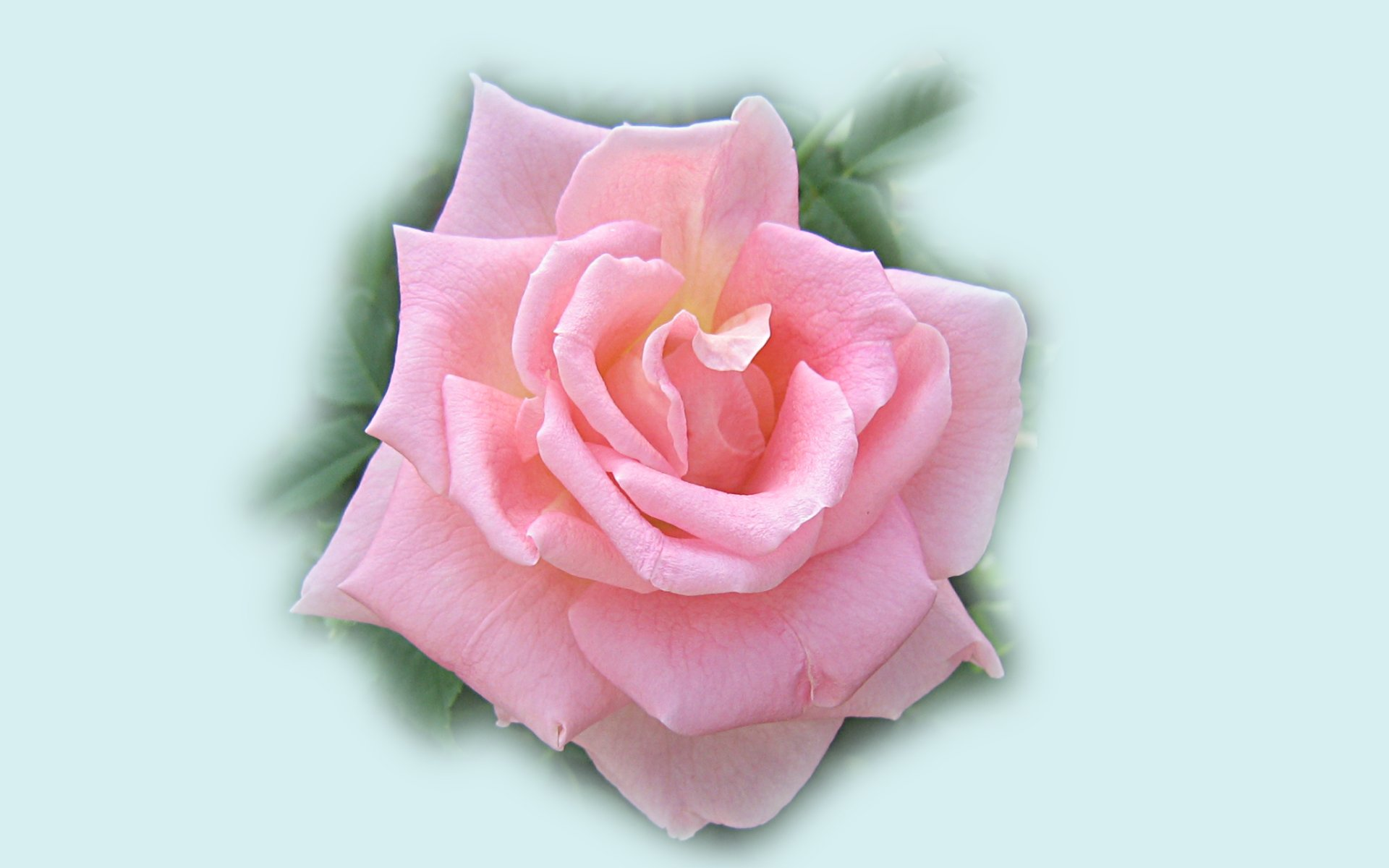 wallpapers widescreen pink roses - photo #34
