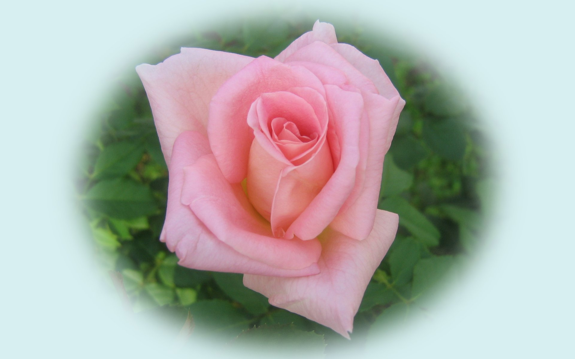 wallpapers widescreen pink roses - photo #23