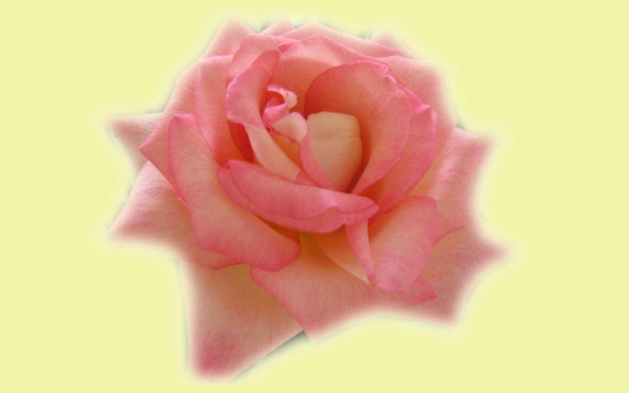 wallpapers widescreen pink roses - photo #36