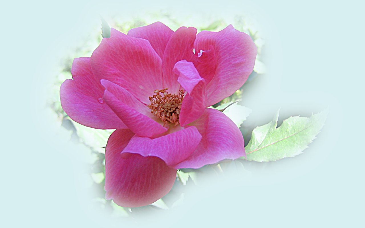 wallpapers widescreen pink roses - photo #8