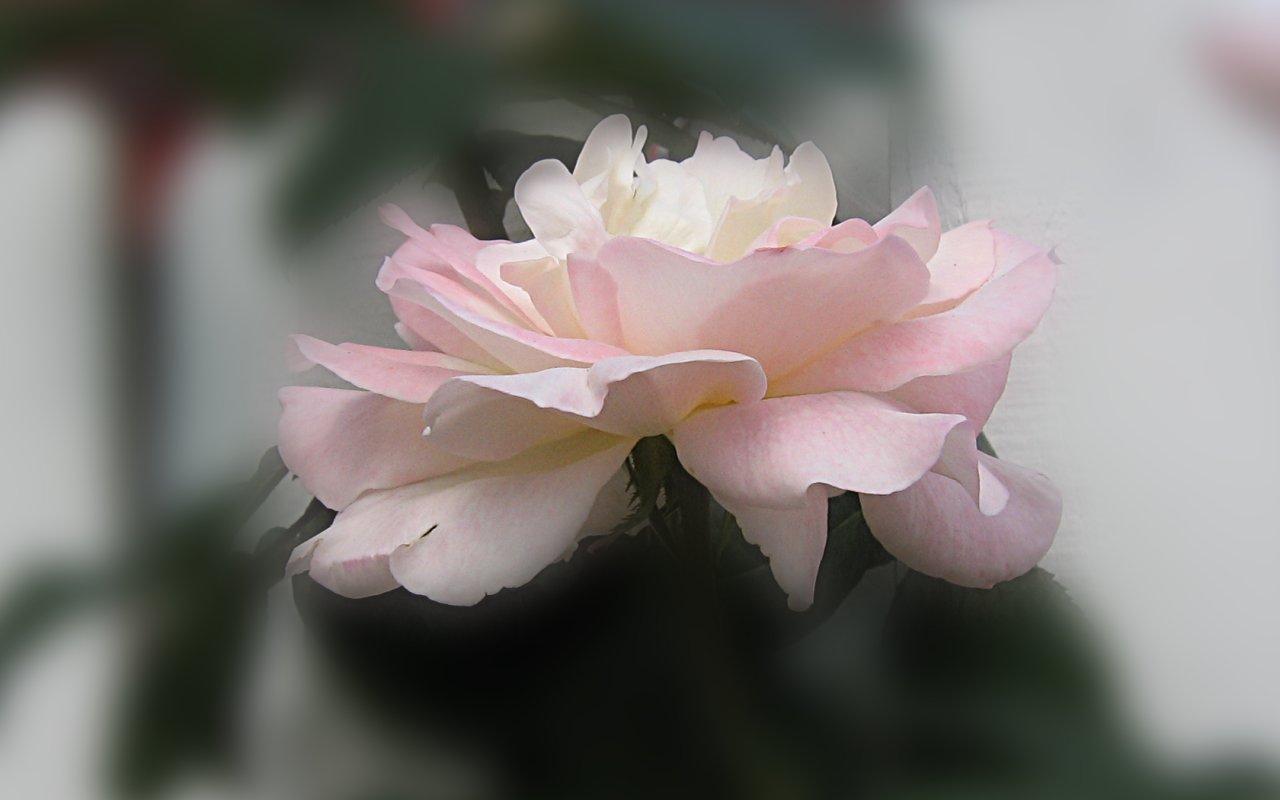 Widescreen Roses Wallpapers  Beautiful White Rose Wallpaper