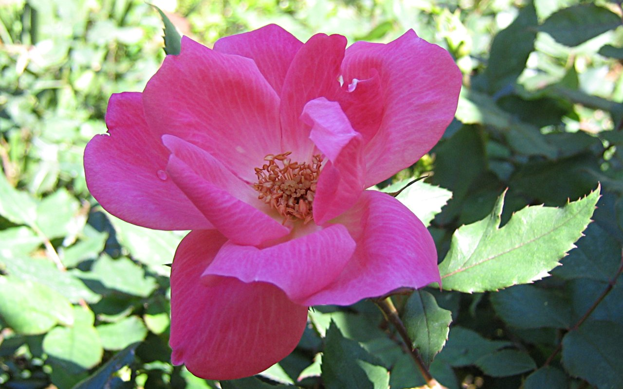 Widescreen Roses Wallpapers