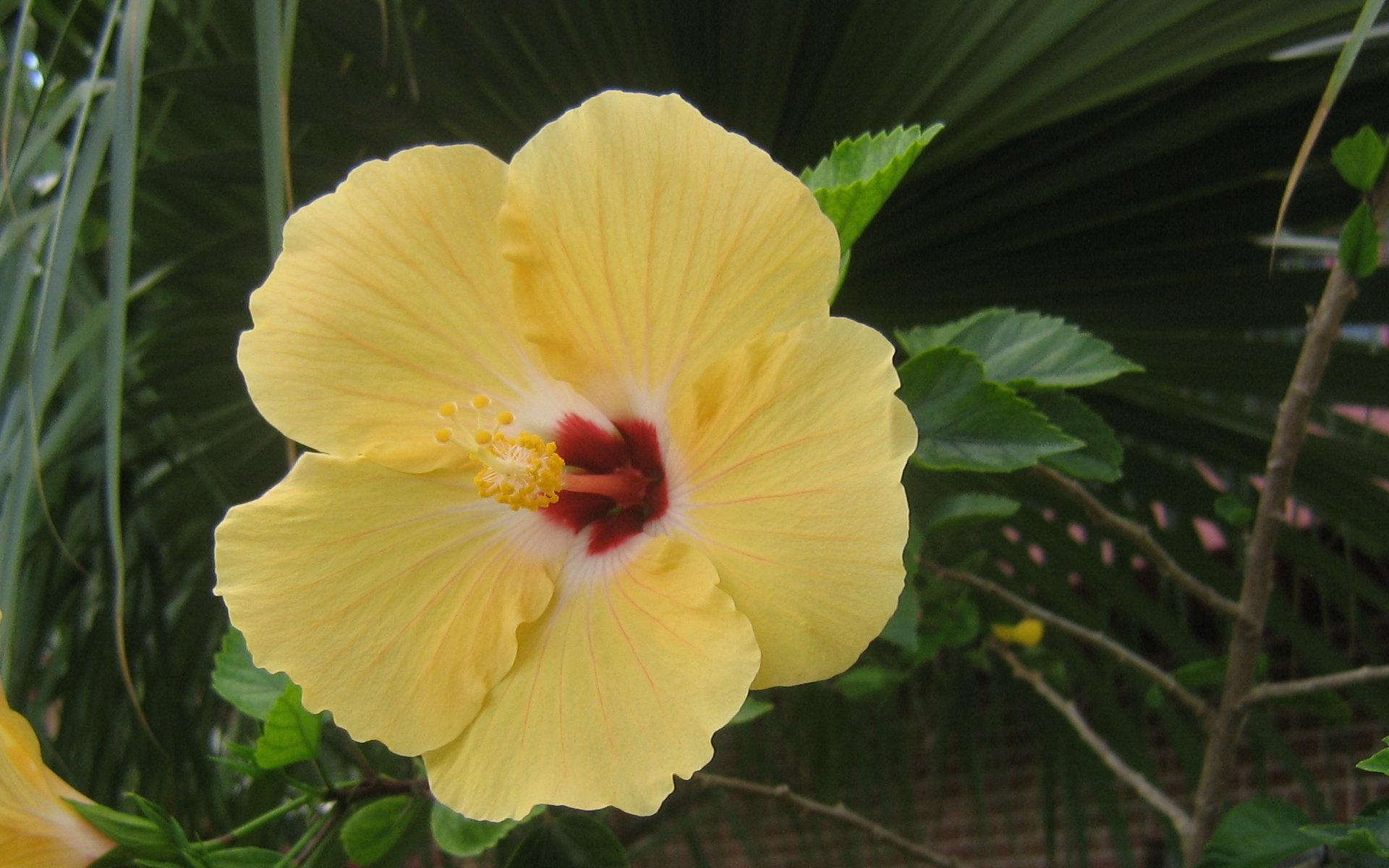 yellow tropical flowers  magiel, Natural flower