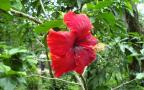 tropical red hibiscus