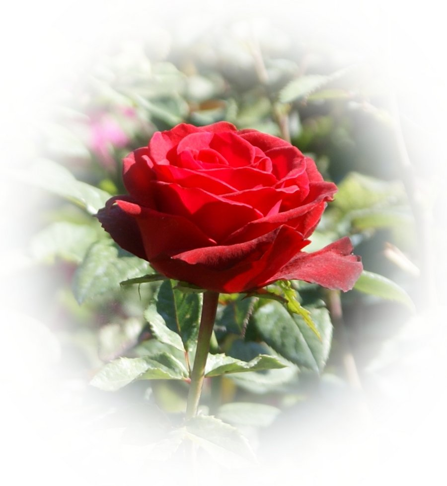 Most Beautiful Red Rose Pictures | Wallpaper sportstle Most Beautiful Single Red Rose