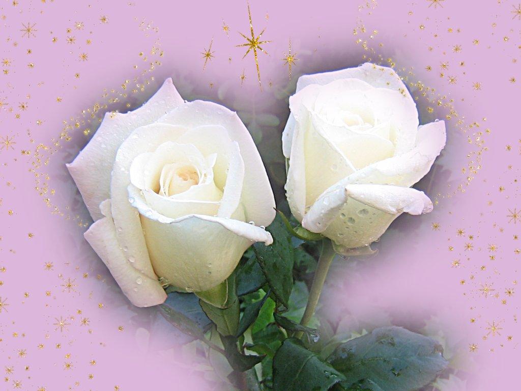 Resultado de imagem para rosa amarilla y blancas