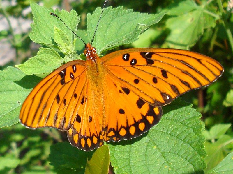 Happy Blog 187 Orange Butterfly
