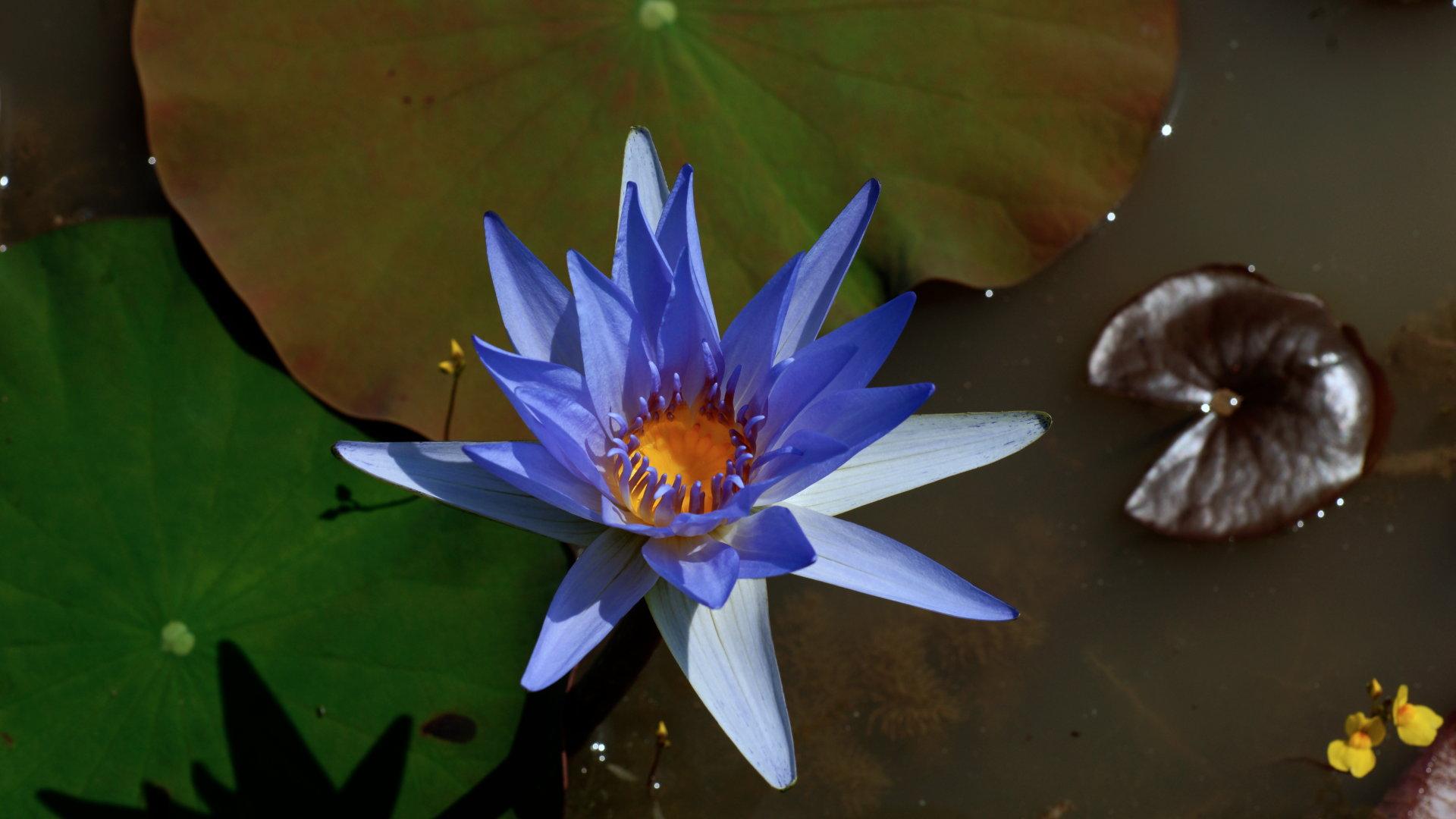 Flower wallpaper blue water lily flower izmirmasajfo