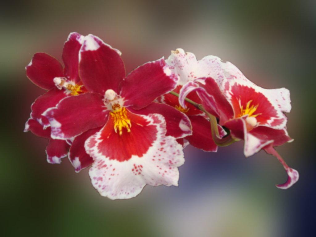 belles orchid es fonds d 39 cran gratuit 1024x768. Black Bedroom Furniture Sets. Home Design Ideas